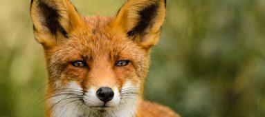Fox vs. Rabbit.
