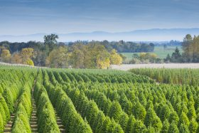 What You Can Learn from the Christmas Tree Shortage.